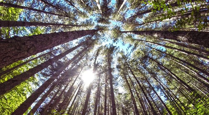 alberi sila