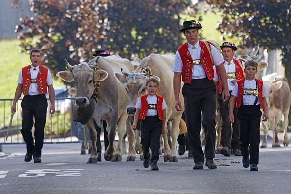 mucche svizzaera