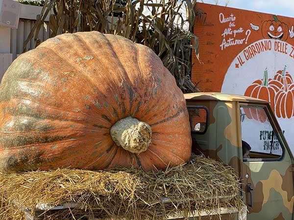 Pumpkin Patch zucca gigante