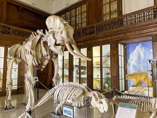 scheletro elefante museo napoli