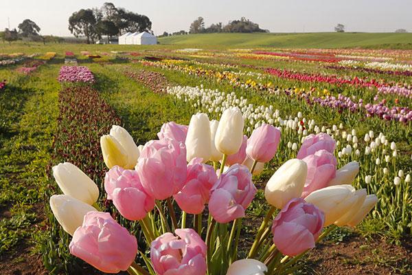 tulipani in fiore italia