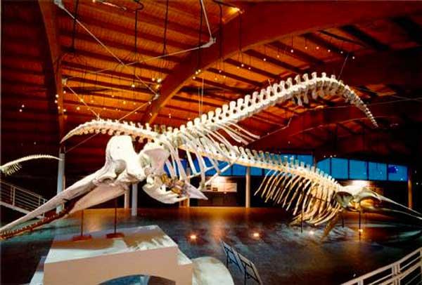 scheletro di balena