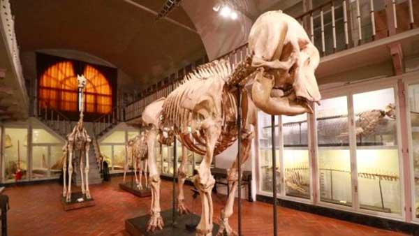 scheletro mammut