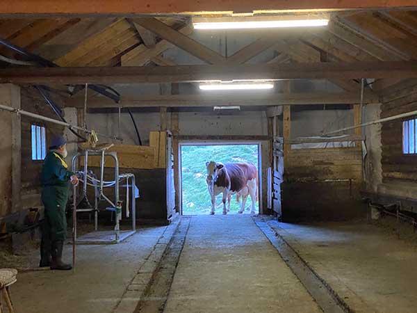mucca in stalla