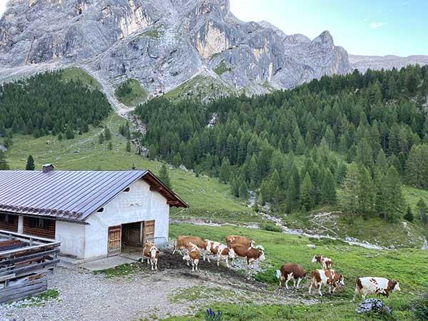 malga con mucche