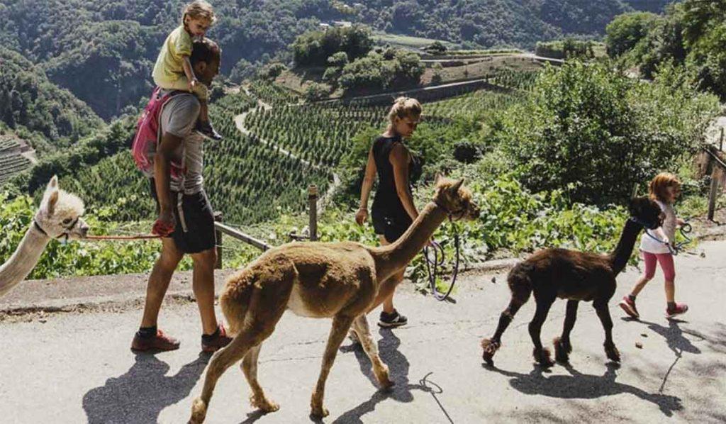 Trekking con alpaca e lama in Italia: passeggiate d'amore